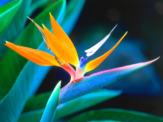Bird Of_Paradise_Hawaii